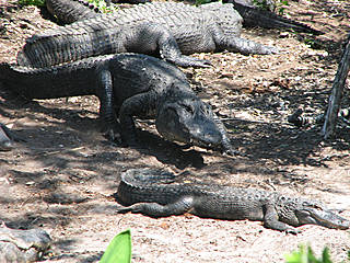 Krokodile in der Alligator Farm © lakeborgne
