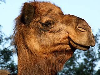 Kamel im Santa Ana Zoo. © tinyfroglet