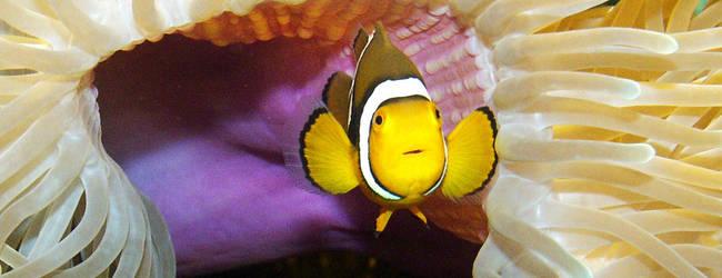Clownfisch in Anemone © Sea Life Königswinter