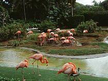 Flamingos im Honolulu Zoo © rjones0856